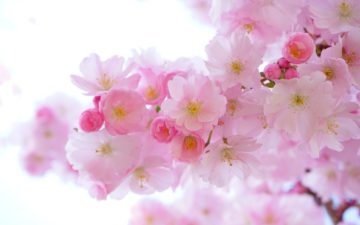 japanese-cherry-trees-324175_1920